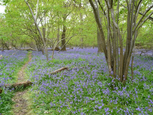 Bluebells, Captain's Wood, Suffolk UK