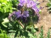 phacelia and bee_5820