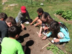 fifth grade planting radishes_3799