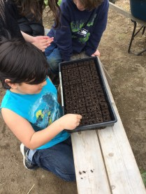 peas go in the soil blocks