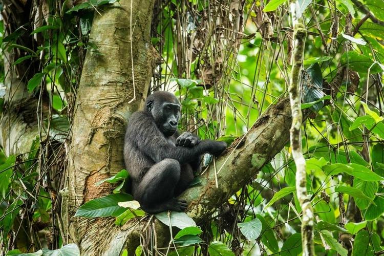 gorilla in odzala national park