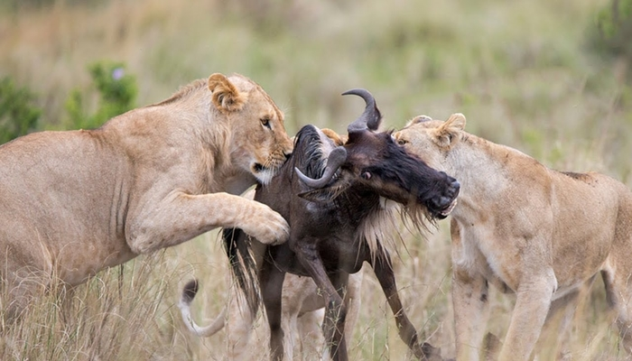 lion attack predator action during the great wildebeest migration