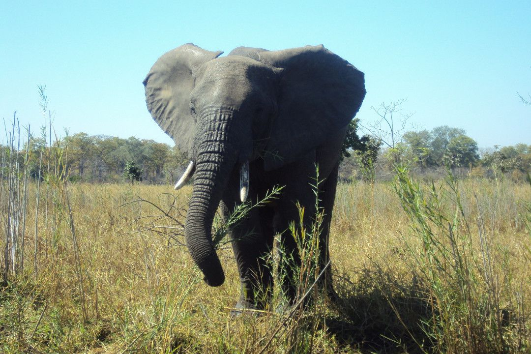 Elephant in Malawi-whileinafrica