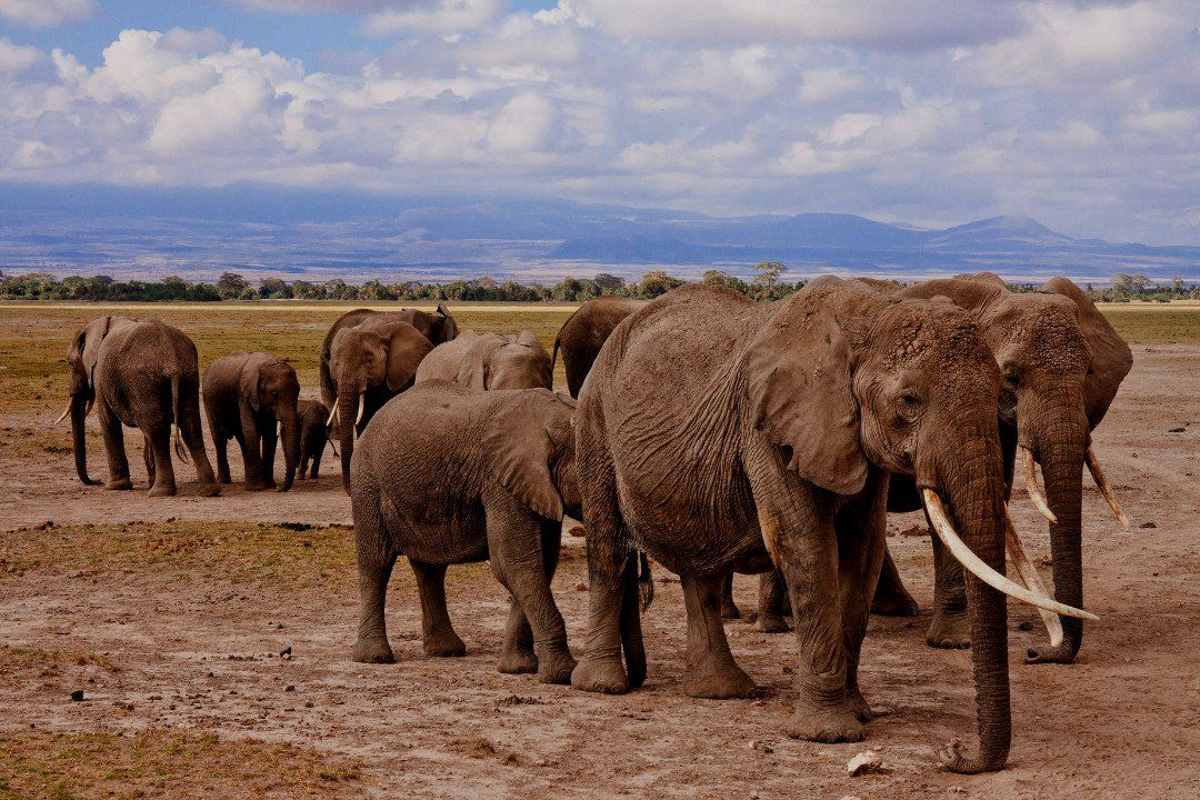 migrating elephants.whileinafrica