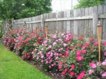 Knockout Rose Garden Ideas