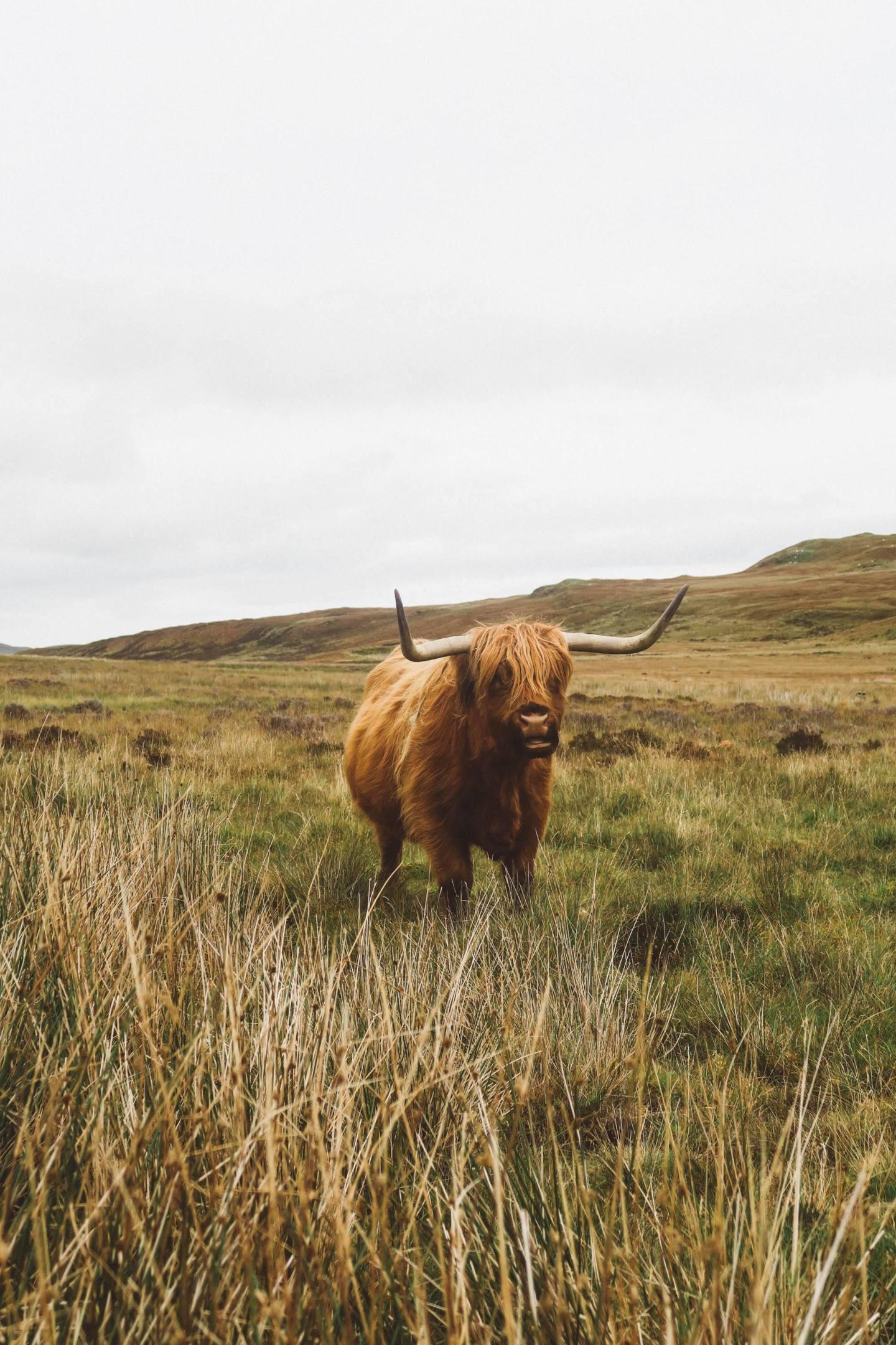 scotland highland cow