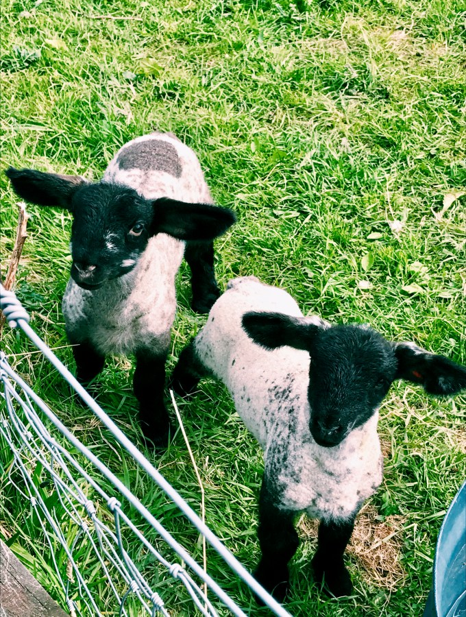 two baby lambs in a grass field in scotland