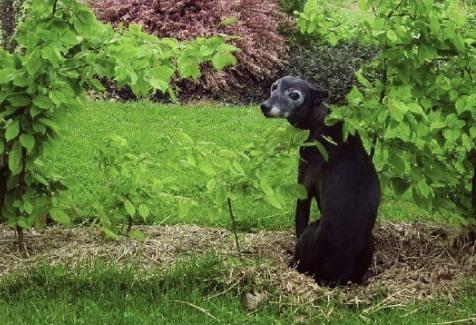 JR Whippet Rescue - Whippet in garden