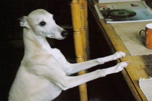 Pale whippet at table
