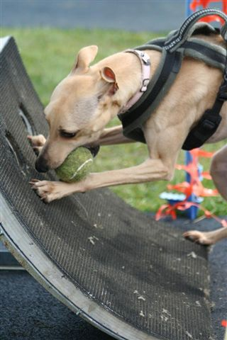 Whippet with Flyball box