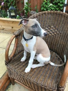 JR Whippet Rescue - Bobby Sitting 2