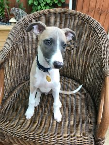 JR Whippet Rescue - Bobby Sitting 3
