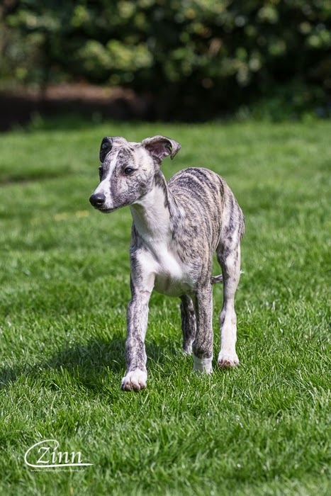 12 Wochen Alte Whippet Welpen Whippets High On Emotion