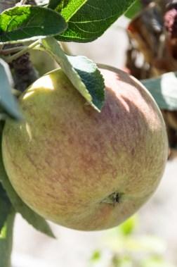 antique braeburn apple   whiskandmuddler.com