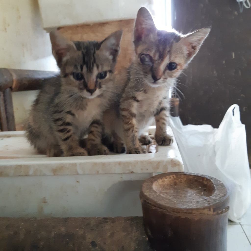Two little tabby kittens, rescued.