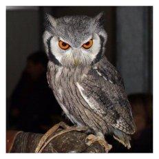 angrybirds 11_owl