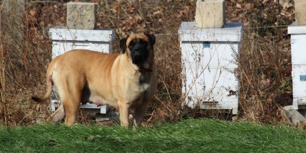 New English mastiff litters coming in June!