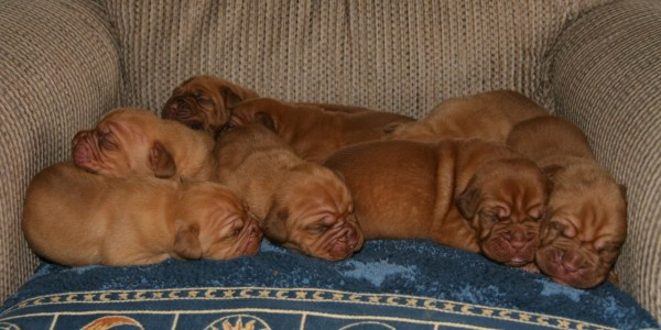 Bordeaux Puppies Available!