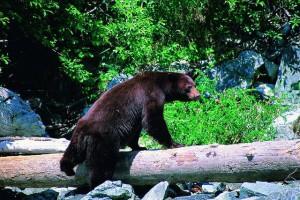 Bear Climbing