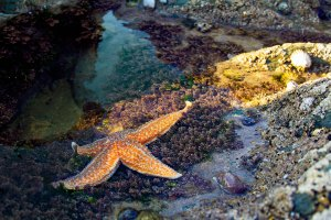Star fish in a rock pool
