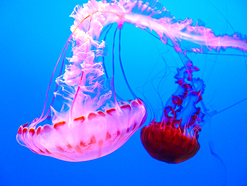 jellyfish copy