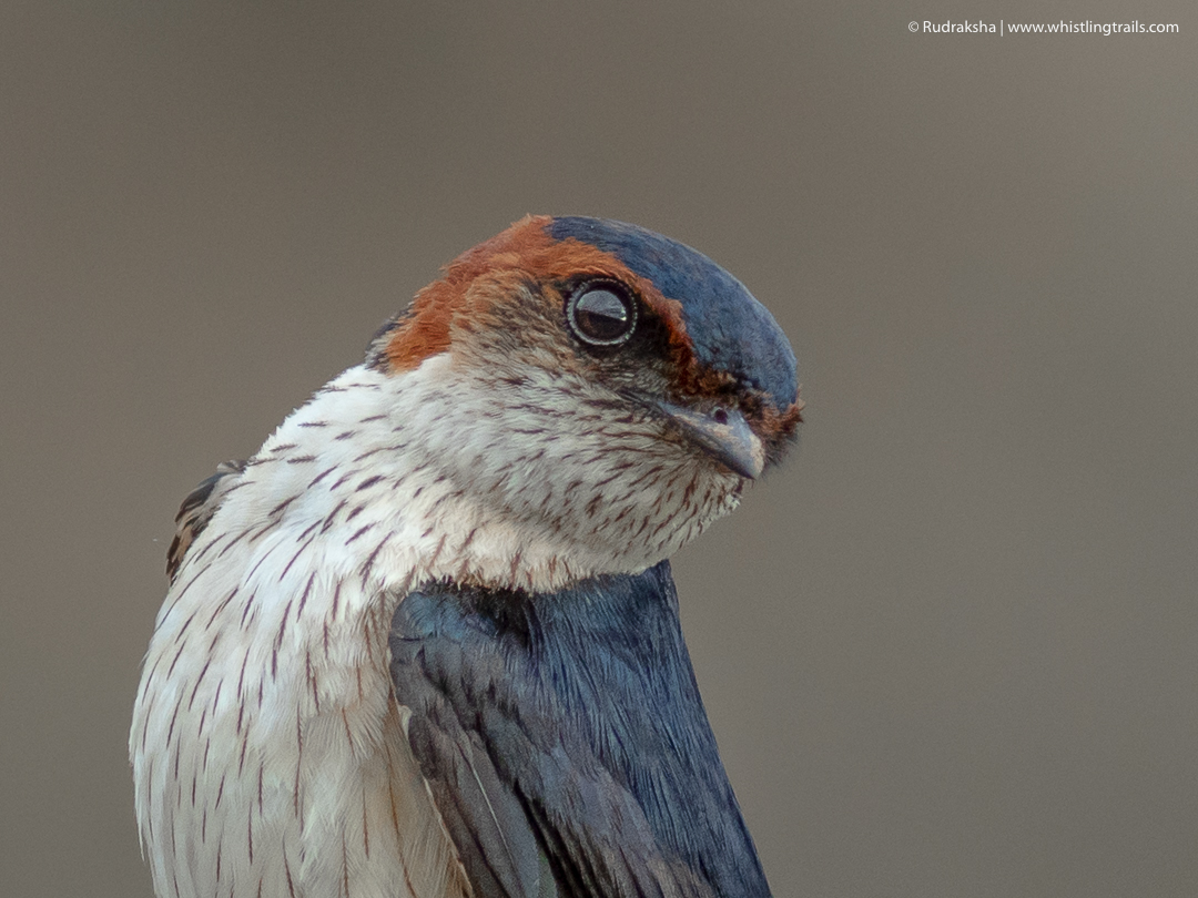 Red-rumped Swallow-2