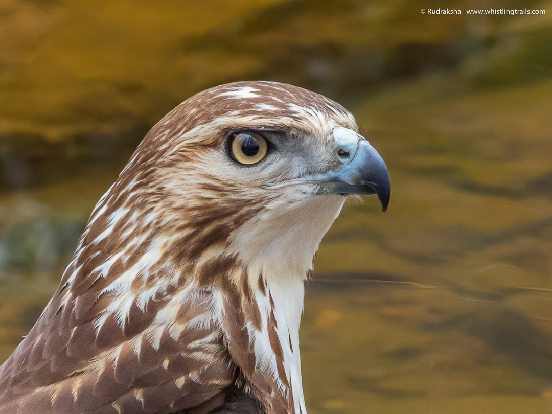 Red-tailed Hawk - close up-1