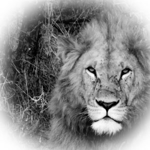Black and white photo of a lion