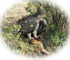 White Masai Bird of Prey