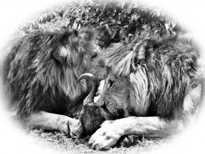 Lions with Kill