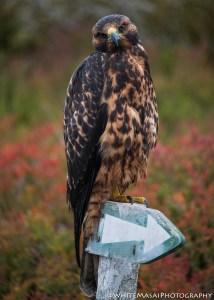Hawk in the Galapagos