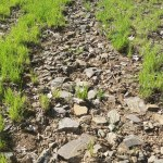1. Locate the rockiest areas of your pasture