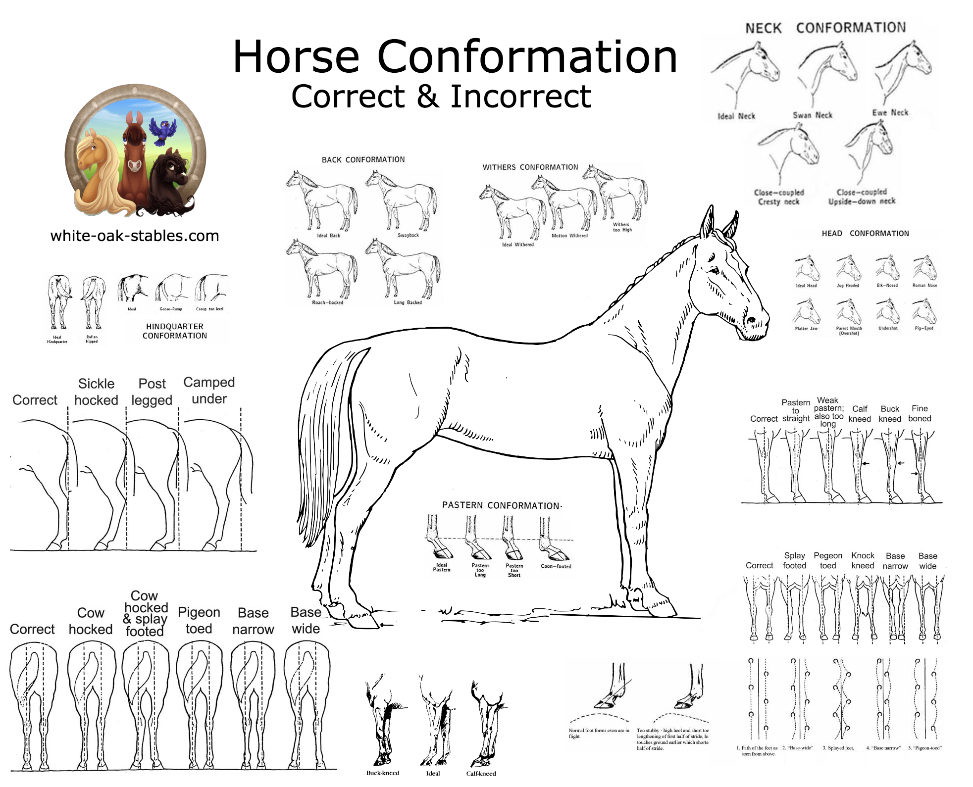 Visual Horse Conformation