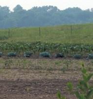 PD garden crop