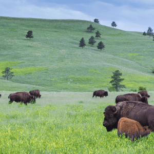 Buffalo in a beautiful green field