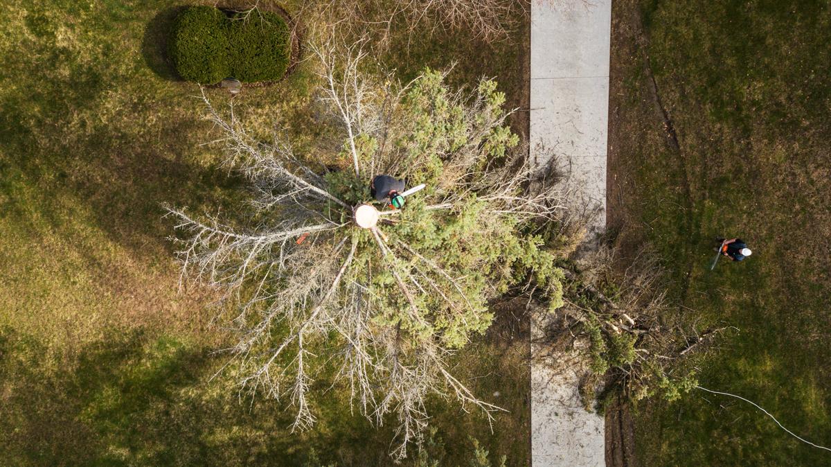 White Falcon Tree Topping Work