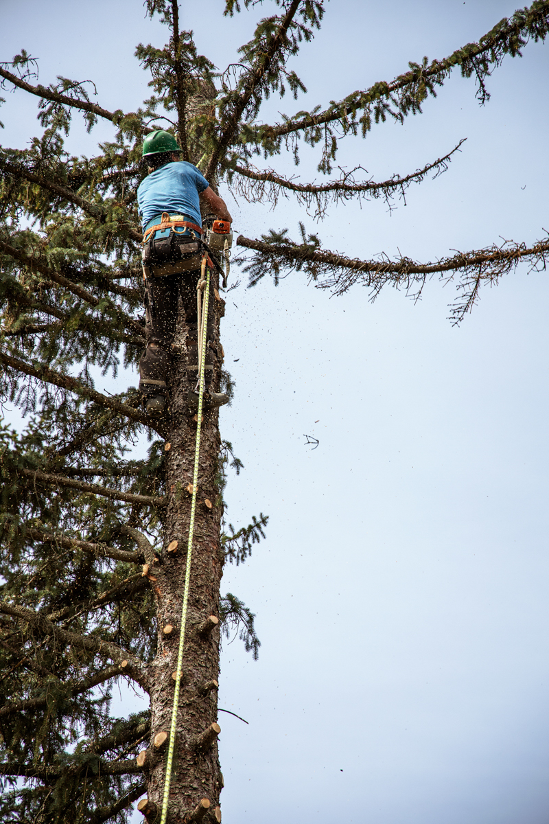 White Falcon Arborist limbing