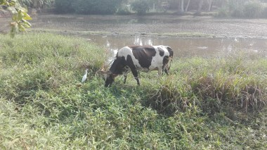 egret's hovering around the cow waiting for worms