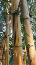 Bamboo, the green line is all natural