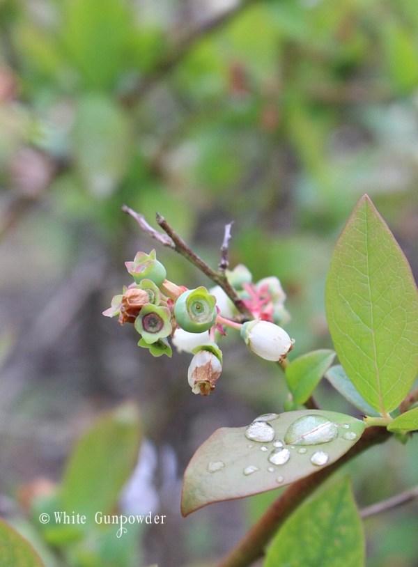Garden - blueberries