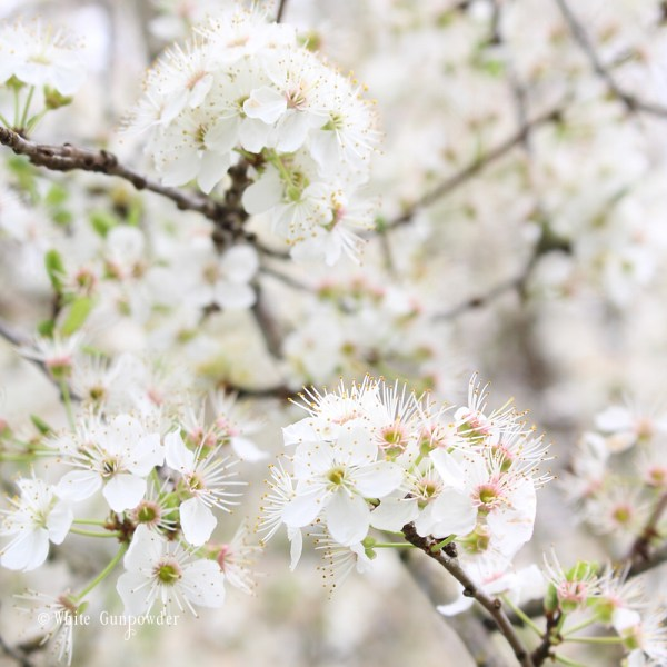 Spring flowers - Plum blossoms