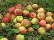 Apple Orchards at White Heather Farmhouse, Kenmnare