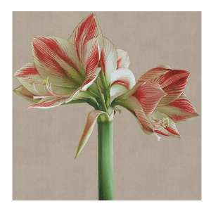 Clown Amaryllis - Mia Tarney - Limited Edition