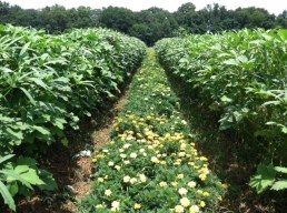 Marigolds thrive in okra shade