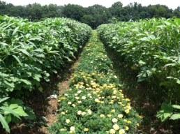 Marigolds thrive in okra shade