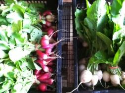 Radishes or Turnips
