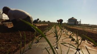 Onion Planting