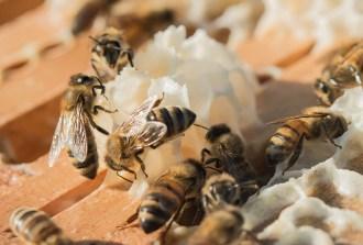 honey-harvest-8-16-2016-26