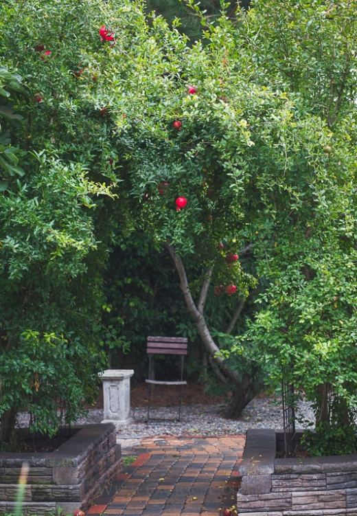 Pomegranate trees in Todd and Diane's Garden | @whiteonrice