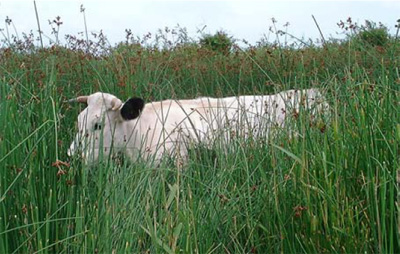 white-park-cattle-image3